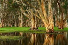 Melaleuca Trees with Reflections