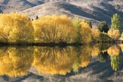 Fall Trees Twizel
