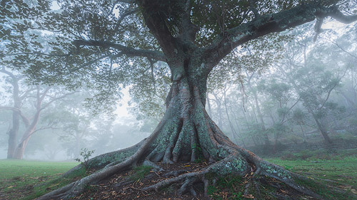foggy forest photography with fig tree