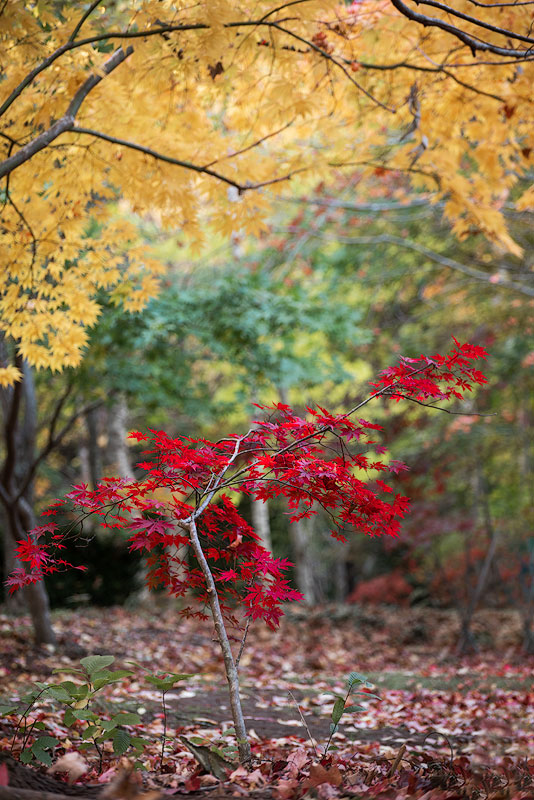 Sefton garden red maple