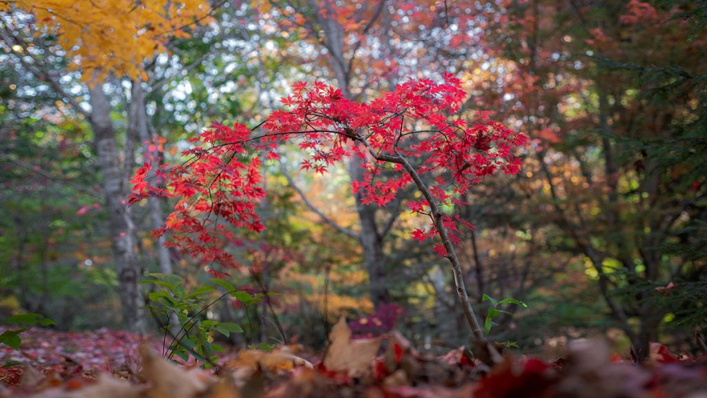 Autumn red maple tree